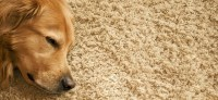 A Dog Owner's Guide to Cleaning Carpets | My Decorative