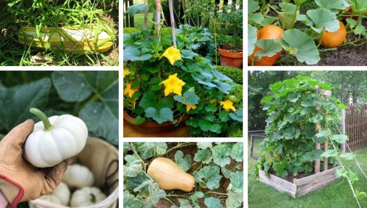 Secrets for growing pumpkins in your garden