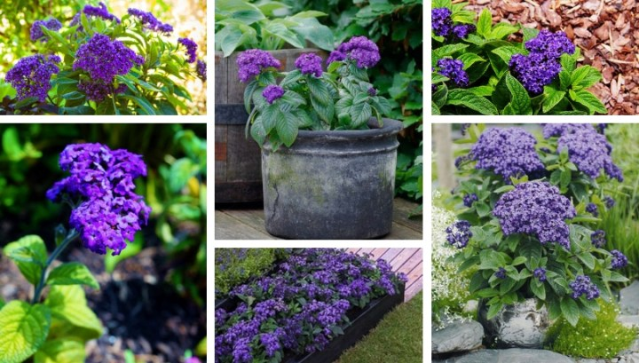 We grow heliotrope – a flower that will conquer you with its aroma