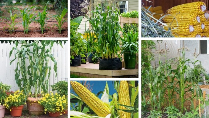 Secrets for planting and growing corn in your garden
