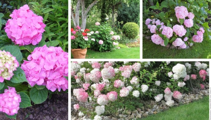 Amazing decoration of your garden with hydrangeas