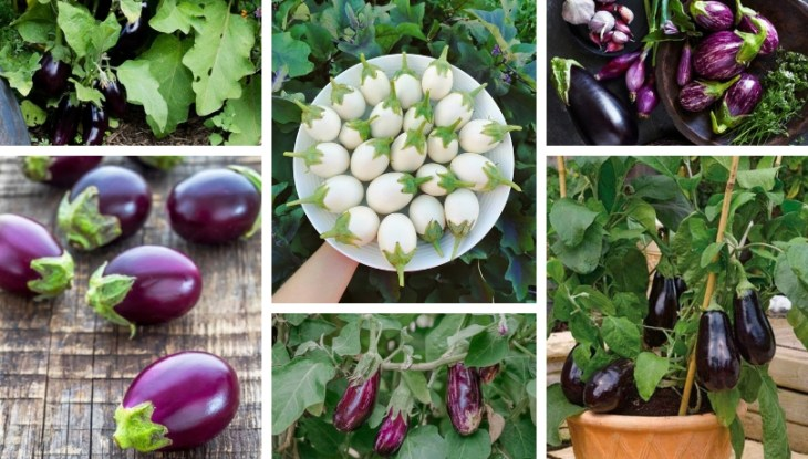 Secrets for growing eggplants in pots and in your garden