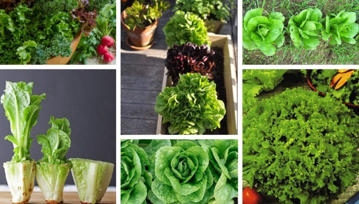 9 Secrets to planting and growing lettuce in your garden