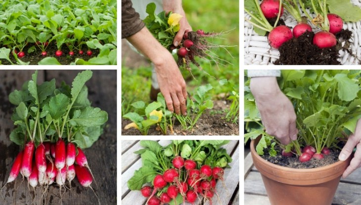Radishes, secrets for planting and growing in your garden or in a flower pot in your balcony