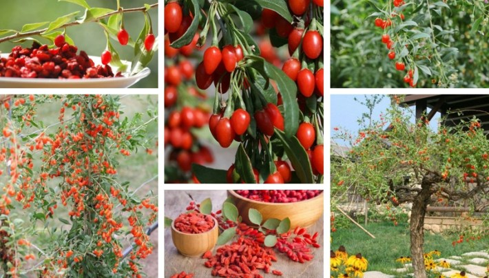 Goji berry, how to cultivate it in a garden or a pot