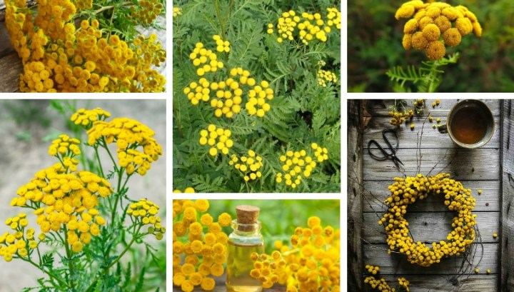 Tansy, a true natural insecticide in your garden
