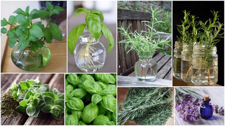 Cultivation of aromatic plants in water