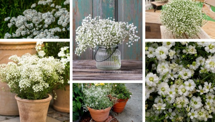 Gypsophila a fluffy and easy to grow flower for you pot and garden
