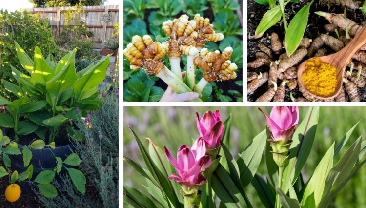 How to grow Turmeric, the impressive plant that gives us a wonderful spice