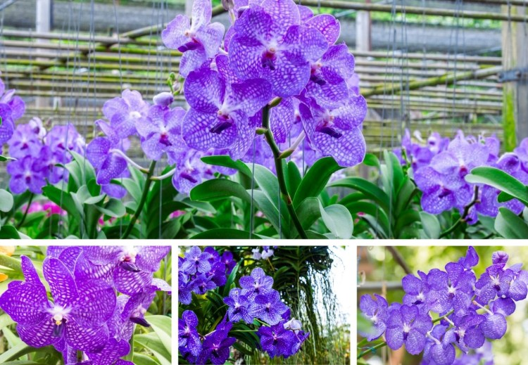 Vanda Coerulea: Outdoor orchid, colorful and fragrant, for a wonderful garden