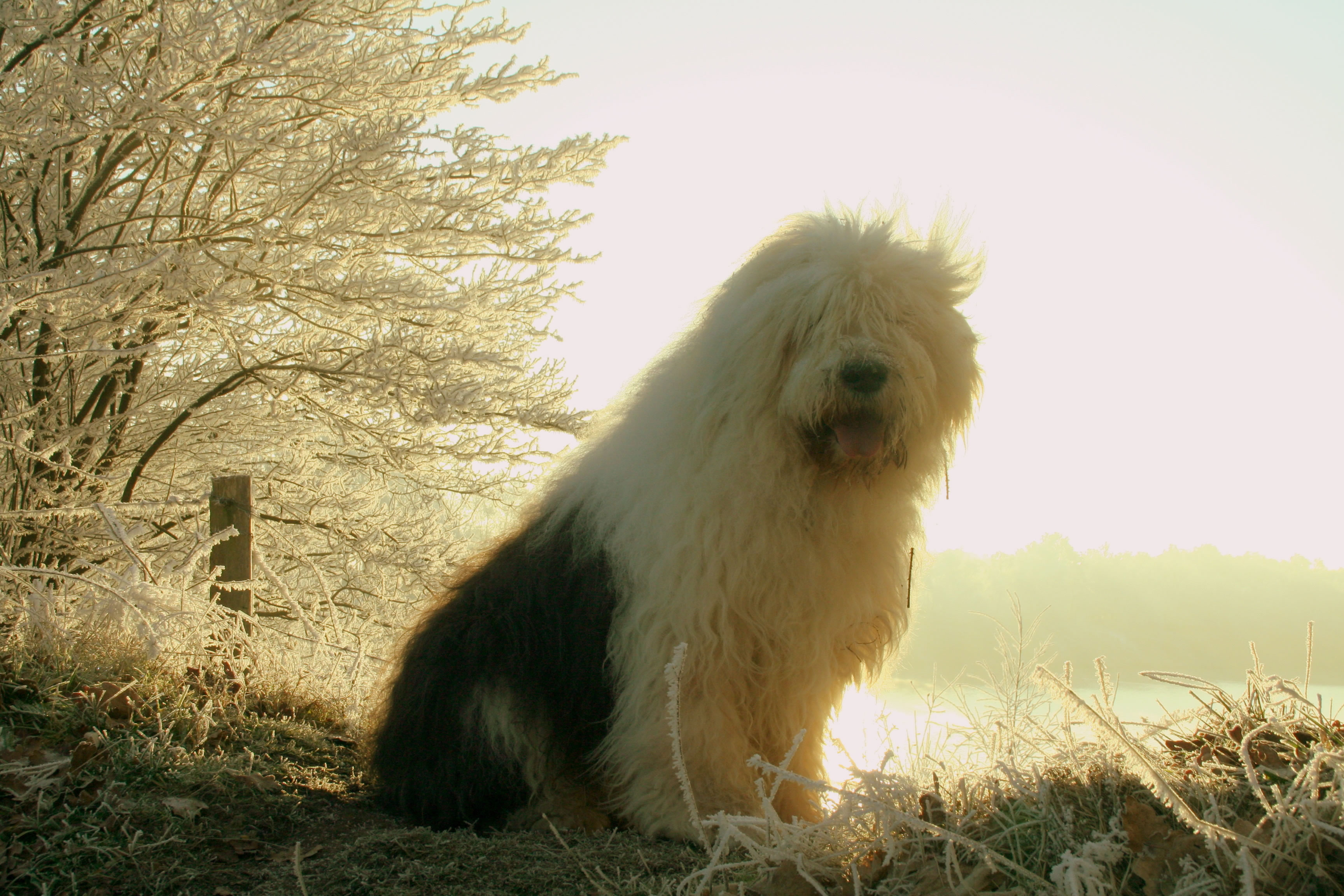 Cute Fluffy Dogs Wallpaper Old English Sheepdog My Doggy Rocks