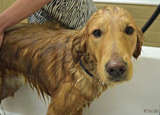Our Golden Retriever Charlie tolerating a dog bath at our local PetSaver Superstore