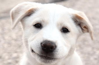 dog smiling Kennel Club Still Registering Puppy Farmed Dogs