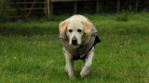 treating arthritis in dogs Dog Arthritis: Are Certain Breeds at More Risk?