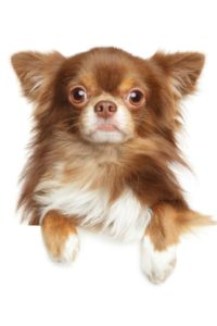 Chihuahua Weight Calculator : chihuahua, weight, calculator, Healthier