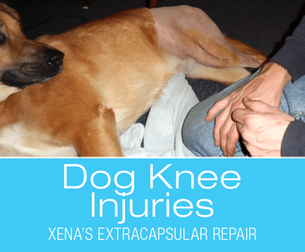 Large Dog Extracapsular Repair: ACL/CCL Injuries In Dogs—Xena's Story