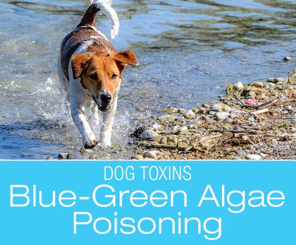 Blue-Green Algae Poisoning: Summer Perils for Dogs—Cyanotoxin Poisoning