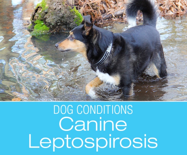 Canine Leptospirosis: Your Dog and Leptospirosis Infection
