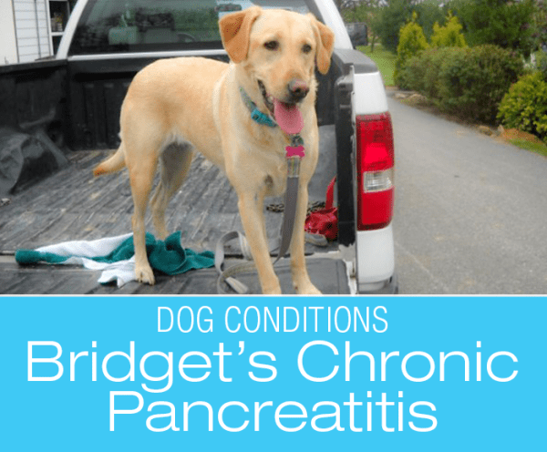 Chronic Pancreatitis in Dogs: The House Is On Fire! Bridget's Pancreatitis