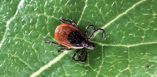 Dog Conditions: Lyme Disease