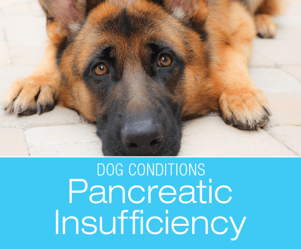 Exocrine Pancreatic Insufficiency (Maldigestion): My Dog Is Always Hungry and Losing Weight