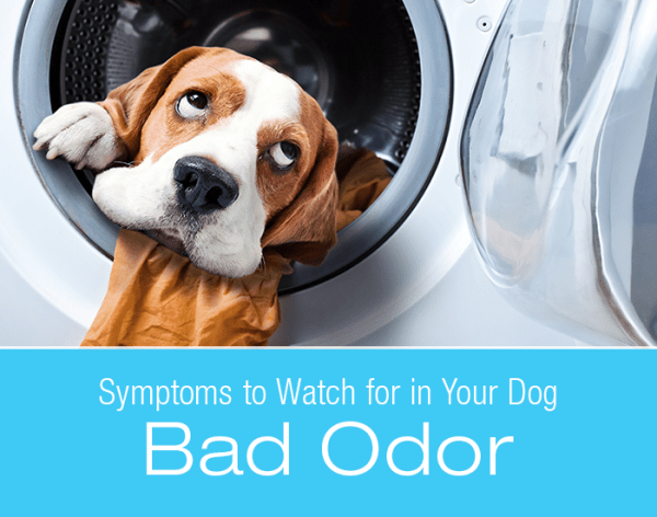 Bad Odor in Dogs: Why Is My Dog Stinky?