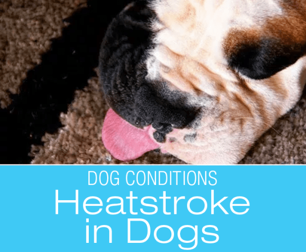 Canine Heatstroke: Signs, Symptoms And Treatment Of Heatstroke in Dogs