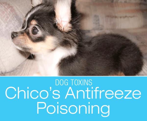 Antifreeze Toxicity in a Dog: AntiFreeze Isn't Just A Winter Hazzard