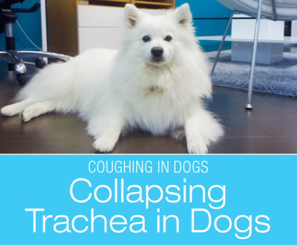 Collapsing Trachea in Dogs: The Kennel Cough Cock Up - Kupo's Story
