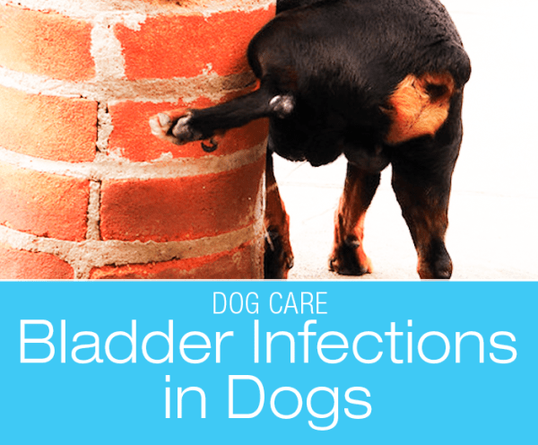 A Primer on Bladder Infections In Dogs