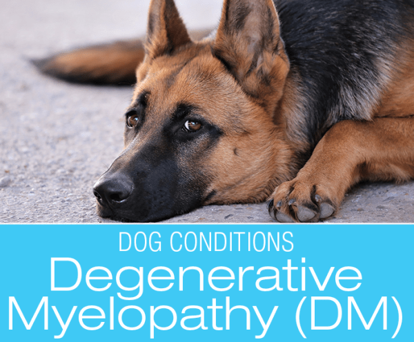 Canine Degenerative Myelopathy (DM): Understanding DM and Top 10 Management Suggestions