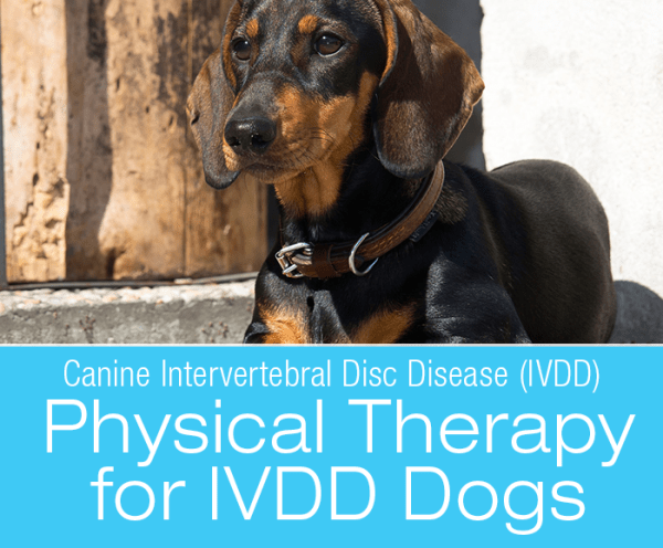 Canine Intervertebral Disc Disease (IVDD): Prevention, Treatment, and Physical Therapy