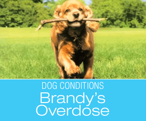 Medication Overdose in Dogs: Trusting Your Instincts May Save Your Dog's Life—Brandy's Story
