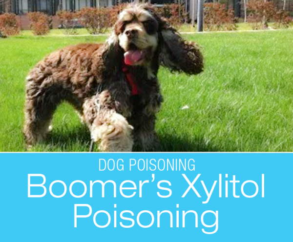 What Is Xylitol Poisoning in Dogs: Ask Boomer!