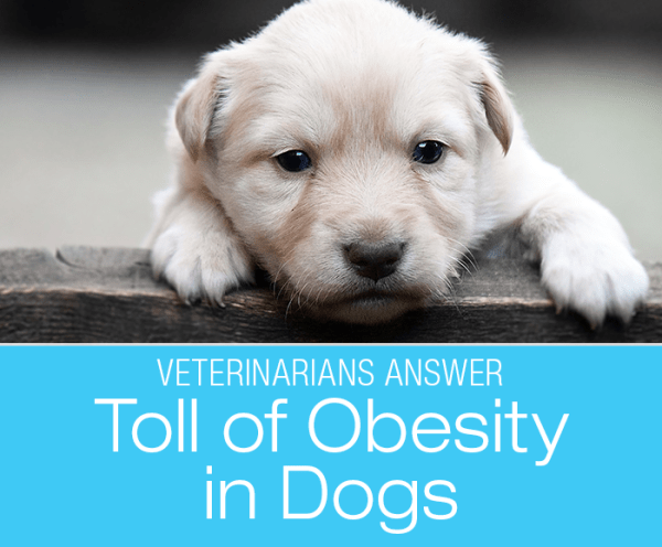 Obesity in Dogs: Veterinarians Talk About The Biggest Toll Our Dogs Pay For Obesity