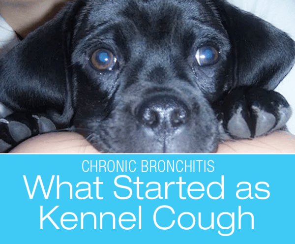 Chronic Bronchitis in a Dog: What Started as Undiagnosed Kennel Cough—Kolchak's Story