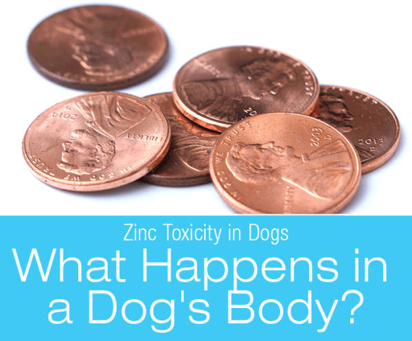 Zinc Toxicity in Dogs: What Happens In The Dog's Body With Zinc Toxicity?