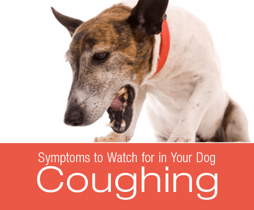 Symptoms to Watch for in Your Dog: Coughing