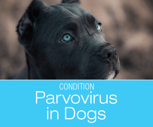 Everything You Need To Know About Parvo