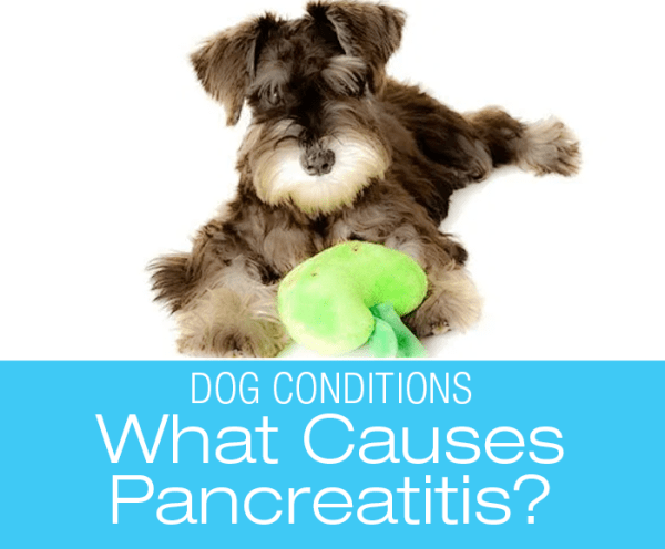 Canine Pancreatitis: What Causes It?