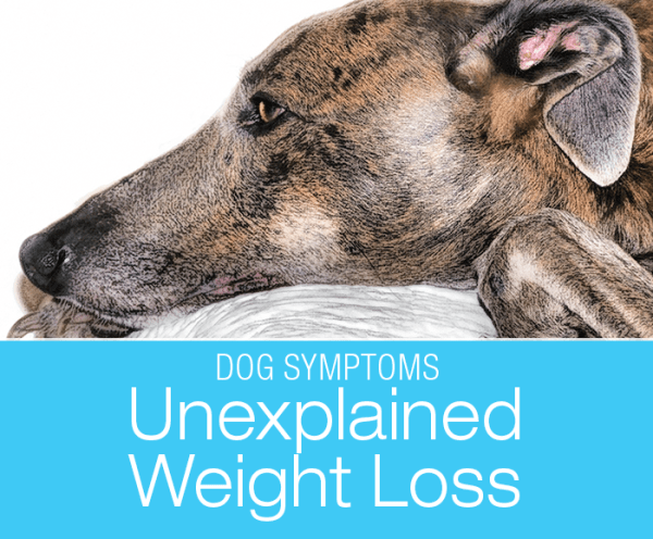 Unexplained Weight Loss in Dogs: Why Is My Dog Losing Weight? Weight loss is one of the potentially quiet symptoms that I find quite scary.