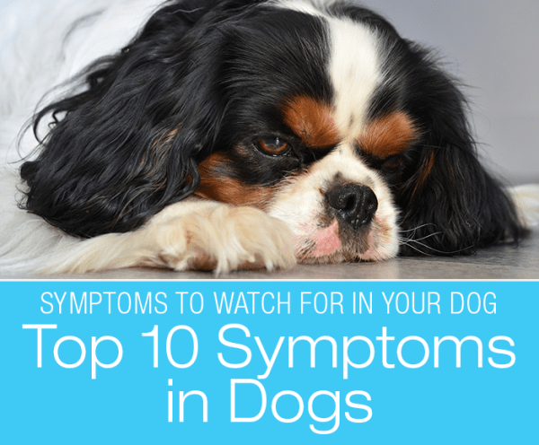 Top 10 Symptoms in Dogs: Veterinarians List Their Top Symptoms To Watch For In Your Dog