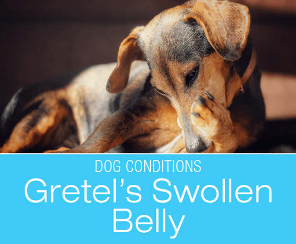 Distended Abdomen in a Dog: Gretel's Brush With Scary Bloat