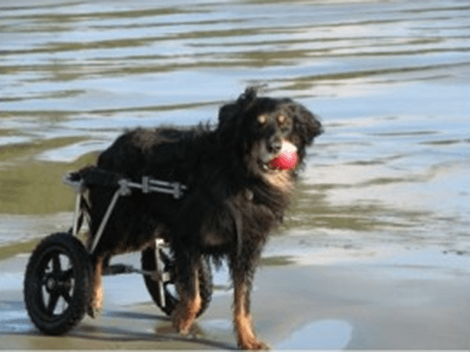 Canine Wheeled Carts: Mobility Aids - Standard Rear Wheel Cart