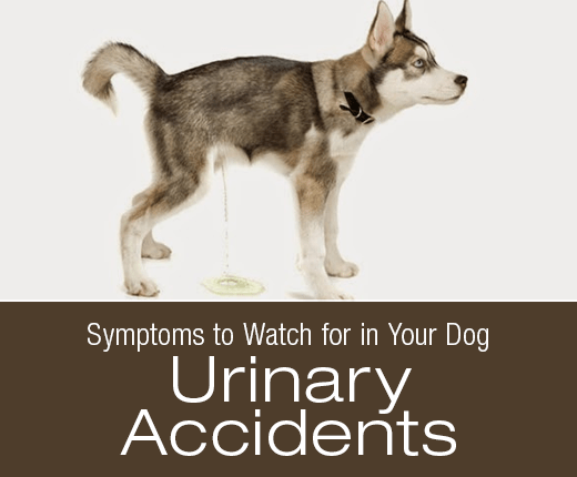 Symptoms to Watch for in Your Dog: Urinary Accidents