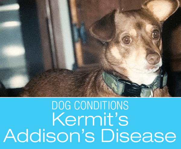 Addisons Disease in a Chihuahua: Kermit's Story