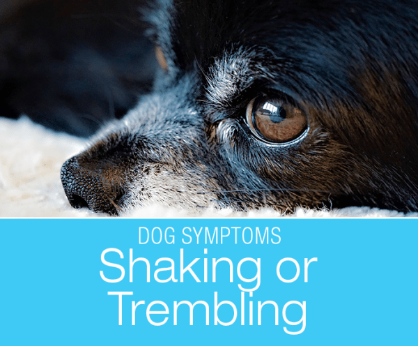 Why Is My Dog Trembling: Shaking or Shivering in Dogs