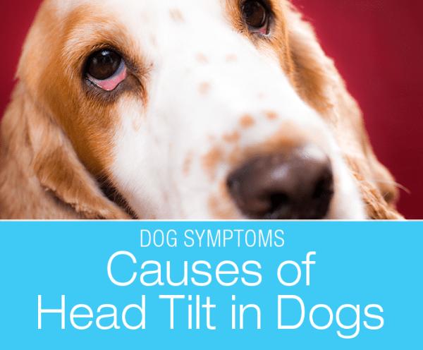 Head Tilt in Dogs: Why Is My Dog Walking Strange?