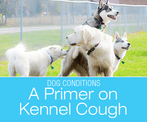 A Primer on Kennel Cough