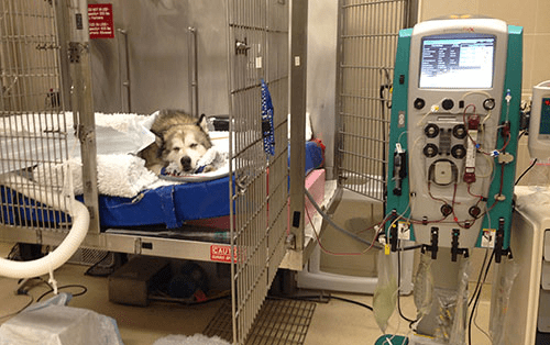 Dialysis for Dogs